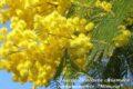 La Mimosa: tra storia, leggenda e curiosità